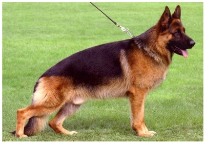 german shepherd standard the german shepherd construction and breed standard 3043